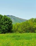Löwenzahn-Felder und Mt Greylock stockbilder