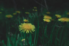 Löwenzahn-gelbe Blumen des Frühlinges im Gras lizenzfreies stockbild