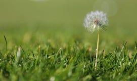 Löwenzahn im Gras lizenzfreie stockfotos