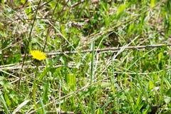 Löwenzahn im Gras Lizenzfreie Stockbilder