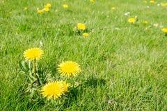 Löwenzahn im Rasen Stockfotos