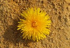 Löwenzahn im Sand lizenzfreies stockbild