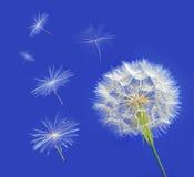 Löwenzahn mit den Samen, die weg im Wind über einem klaren Blau durchbrennen Stockfotos