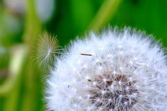 Löwenzahn mit einem Samen Stockbild
