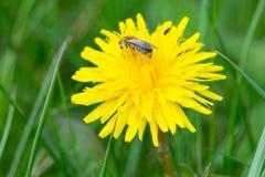 Löwenzahn mit einer Biene, Gras Stockbild