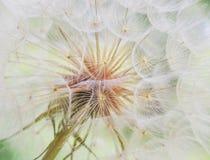 Löwenzahn nach innen, Makrophotographie Stockfoto
