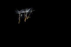 Löwenzahn-Samen, die frei schwimmen Stockfotos