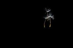 Löwenzahn-Samen, die frei schwimmen Lizenzfreies Stockfoto