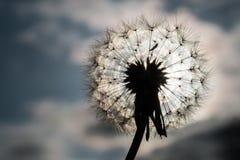 Löwenzahn-Samen gegen hellen Himmel Stockbild