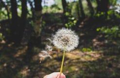 Löwenzahn sammer Hintergrund-Blumennatur stockfotografie