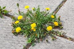 Löwenzahn, Taraxacum officinale, wachsend auf Pflasterung Lizenzfreie Stockfotos