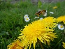 Löwenzahn und Biene Lizenzfreie Stockbilder