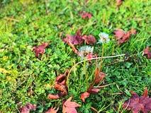 Löwenzahn und das Gras mit Herbstblatt stockfotografie