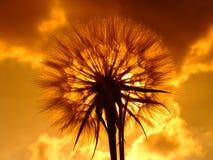 Löwenzahn und der Sonnehintergrund Lizenzfreies Stockfoto