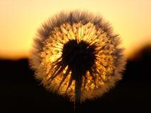 Löwenzahn und der Sonnenuntergang Lizenzfreies Stockbild