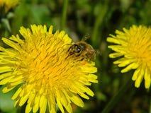 Löwenzahn und die Biene Stockfotos