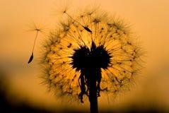 Löwenzahn unter Sonnenuntergang Lizenzfreie Stockbilder