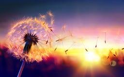 Löwenzahn zum Sonnenuntergang stockfotos