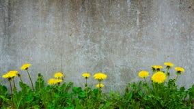 Löwenzahnanlage, die an der Betonmauer - Überlebend-Umwelt-Konzept wächst Lizenzfreie Stockfotos