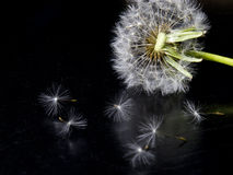 Löwenzahnblume auf einem schwarzen Hintergrund Lizenzfreies Stockbild