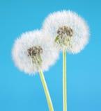 Löwenzahnblume auf Himmelhintergrund Gegenstand lokalisiert auf Blau junge gelbe Blume gegen weißen Hintergrund Lizenzfreie Stockfotografie