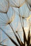 Löwenzahnblume bei Sonnenuntergang Stockfotos