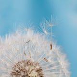 Löwenzahnblume mit Startwerten für Zufallsgenerator Hintergrund für eine Einladungskarte oder einen Glückwunsch Reife Samen des G Lizenzfreies Stockbild