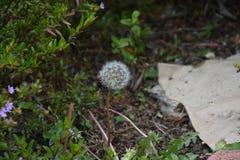 Löwenzahnblume in tbe Garten lizenzfreie stockfotografie