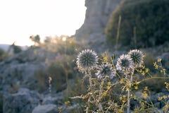 Löwenzahnblumenanlage bei Sonnenuntergang in einem Wald Lizenzfreies Stockbild