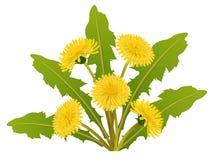 Löwenzahnblumenblumenstrauß mit Blatt für Frühling Stockfotos