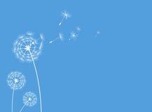 Löwenzahngrußkartenblau Stockbilder