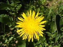 Löwenzahnkraut und schöne gelbe Blumen von den medizinischen Kräutern Lizenzfreie Stockfotos