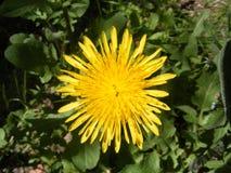 Löwenzahnkraut und schöne gelbe Blumen von den medizinischen Kräutern Lizenzfreie Stockbilder