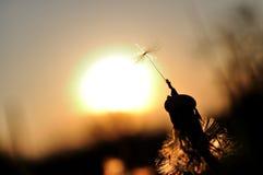 Löwenzahnschattenbild bei Sonnenuntergang Lizenzfreie Stockfotos