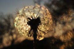 Löwenzahnschattenbild bei Sonnenuntergang Lizenzfreie Stockfotografie