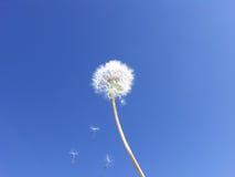 Löwenzahnstartwerte für zufallsgenerator, die auf blauen Himmel schwimmen -- Wünsche stockfotografie