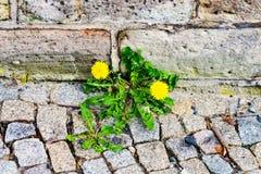 Löwenzahnzierpflanzenbau auf dem Fußweg auf der Hausmauer Stockfoto