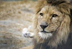 Löweporträt Stockfoto