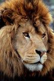 Löweporträt Lizenzfreie Stockbilder