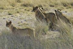 Löwevermessen Stockfoto