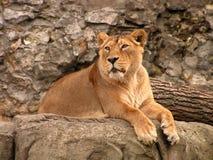Löwin. lizenzfreies stockfoto