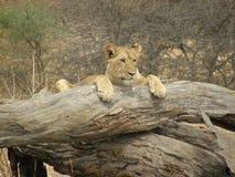 Löwin lizenzfreies stockfoto