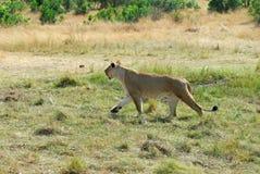 Löwin lizenzfreie stockbilder