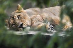 löwin stockfotografie