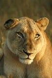 Löwin lizenzfreie stockfotografie