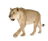Löwin (8 Jahre) - Panthera Löwe lizenzfreie stockfotografie
