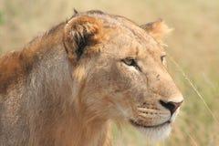 Löwin Stockbild
