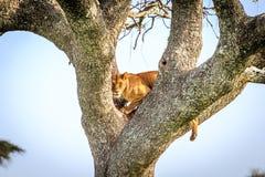 Löwin auf dem Baum Stockbilder