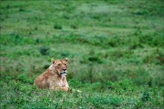 Löwin auf einem Gras. lizenzfreies stockfoto