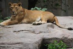 Löwin auf Felsen Stockbild